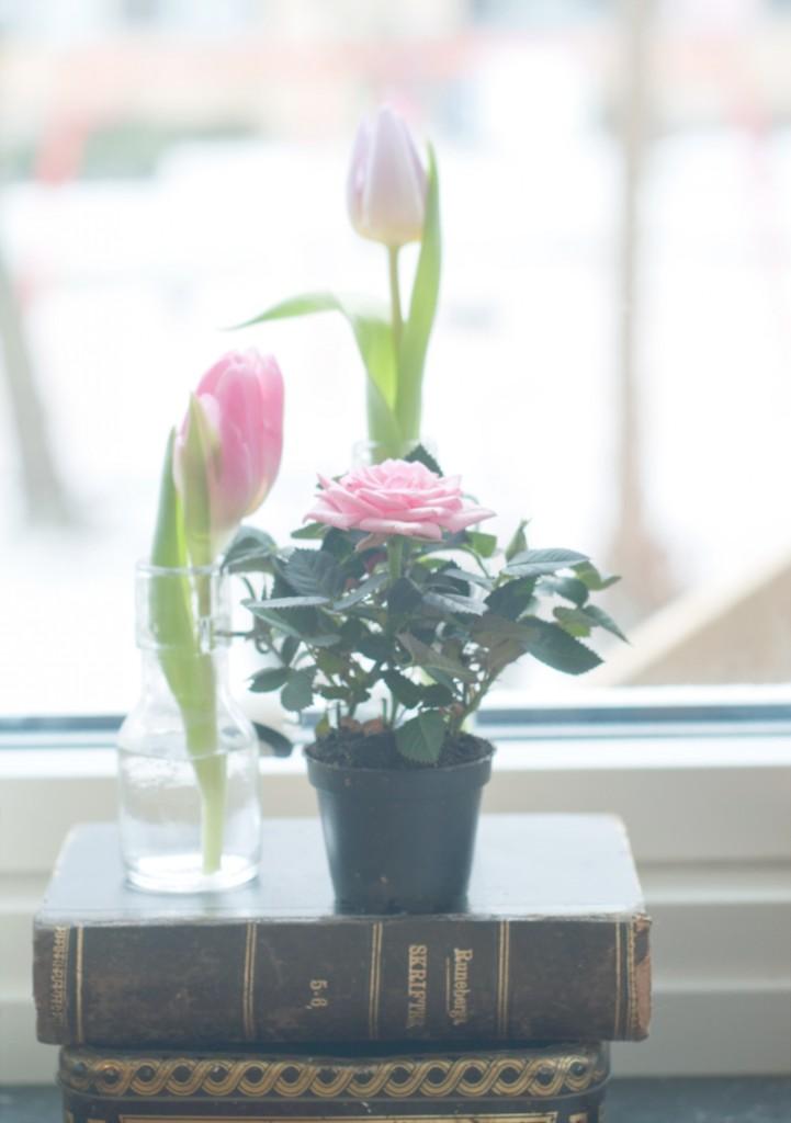 tulip-rose